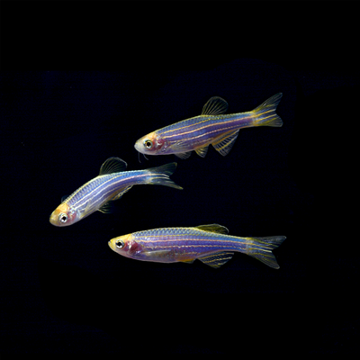 GloFish® Danio Add-On Collections