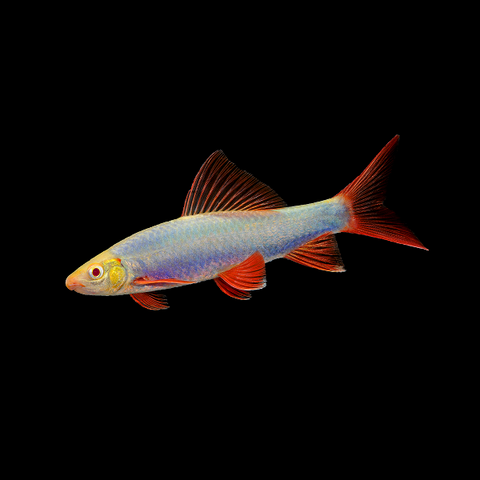 GloFish® Cosmic Blue® Shark
