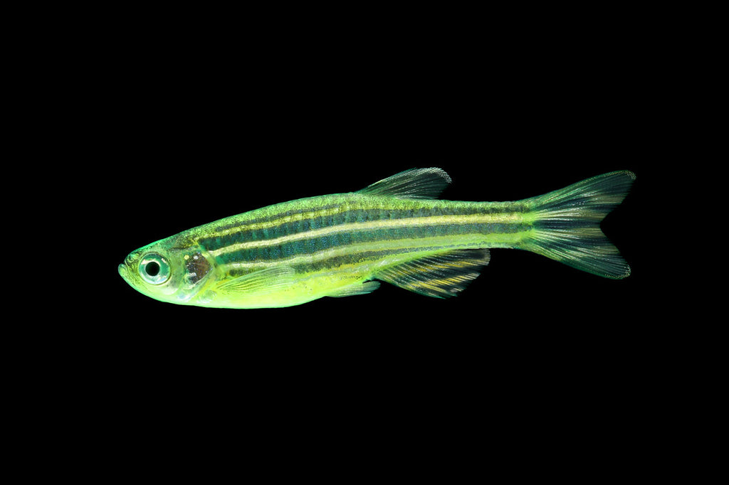GloFish® Electric Green® Striped Danio- Buy GloFish Online