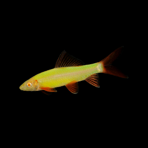GloFish® Electric Green® Shark