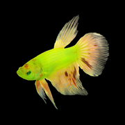 GloFish® Male Betta (see note)