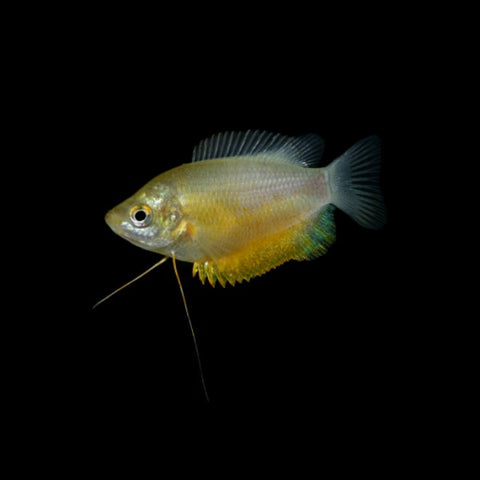 Sunset Thicklip Gourami Add-on