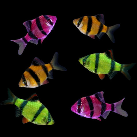 GloFish® Barb Halloween Collection