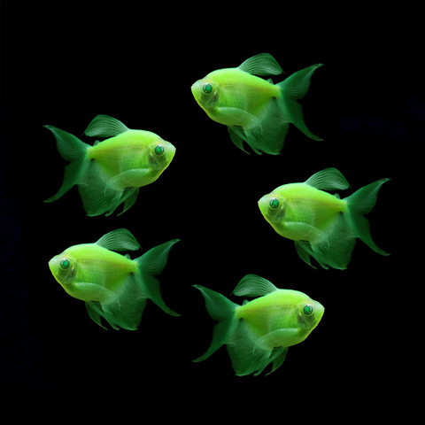 "GloFish® Long-Fin Tetra ""Pick Your Color"" Collection"
