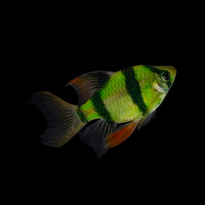 GloFish® Electric Green® Long-Fin Barbs