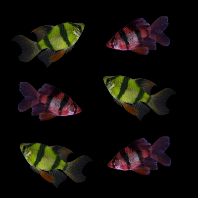 GloFish® Long-Fin Barb Complete Collection
