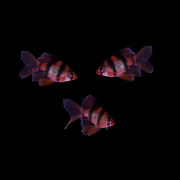 GloFish® Long-Fin Barb Add-on Collection