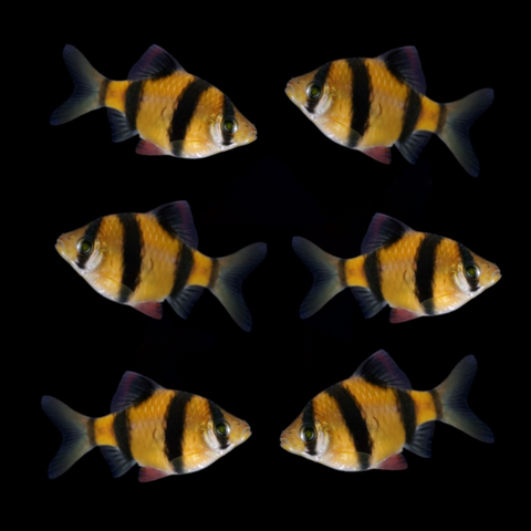 GloFish® SunBurst Orange® Barb Collection