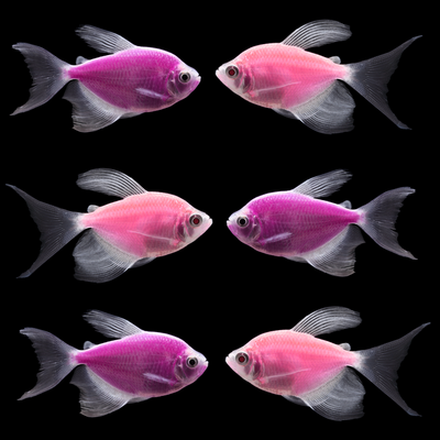 GloFish® Long-Fin Orchid Collection