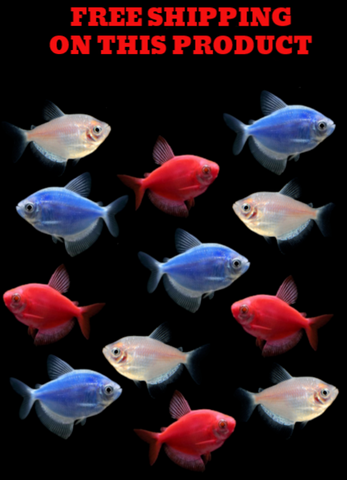 GloFish® Patriot Tetra Collection