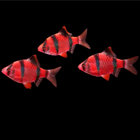 GloFish® Barb Add-on Collection