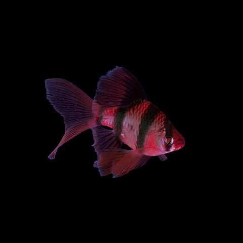 GloFish® Starfire Red® Long-Fin Barbs