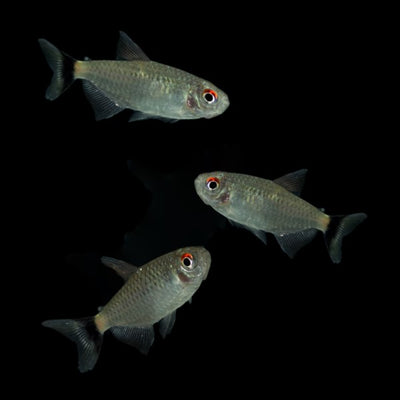 Redeye Tetras Add-on Collection