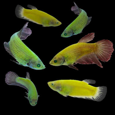 GloFish® Betta Sorority Collection