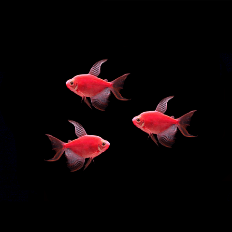 GloFish® Long-Fin Tetra Add-on Collections
