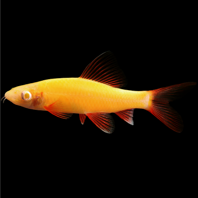 GloFish® Sunburst Orange® Shark