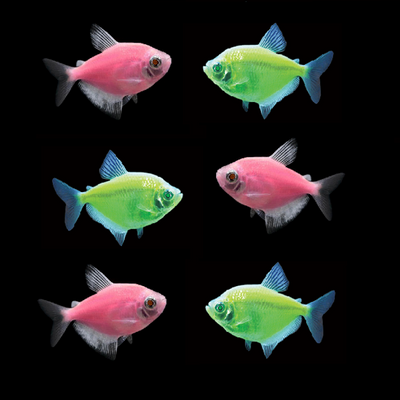 Tulip GloFish® Tetra Collection