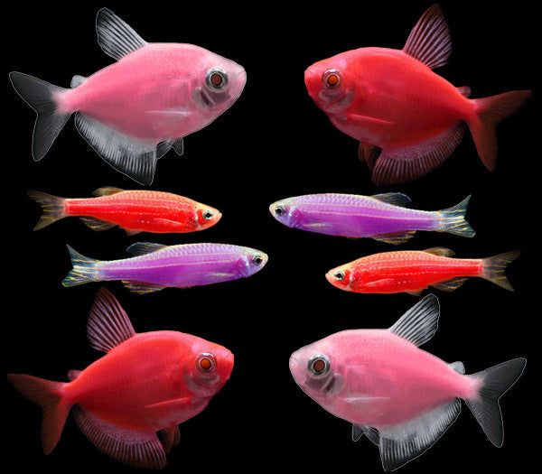 GloFish® Valentine Collection