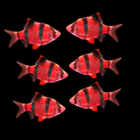 GloFish® Starfire Red® Barb Collection