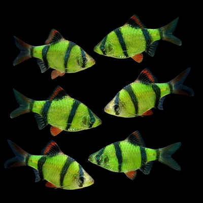 GloFish® Electric Green® Barb Collection