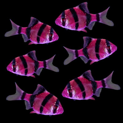 GloFish® Galactic Purple® Barb Collection