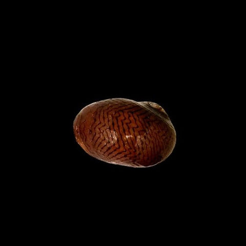 GloSnail™ Nerite Snail (see care note)