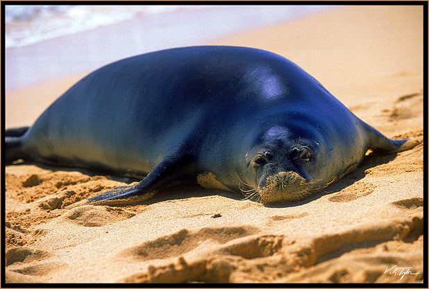 Hawaiian Monk Seal On Beach Hawaii - Hawaiipictures.com