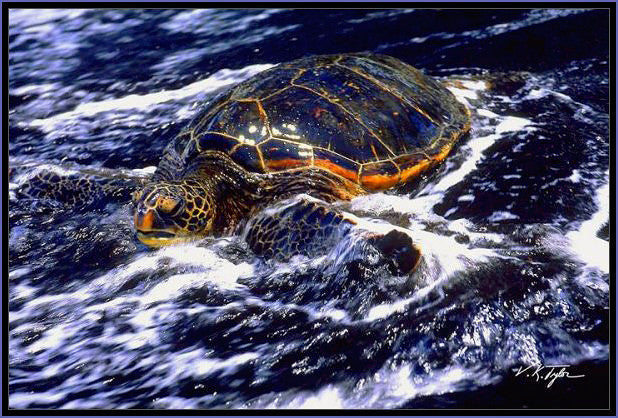 Hawaiian Sea Turtle Punaluu Big  Island- Hawaiipictures.com