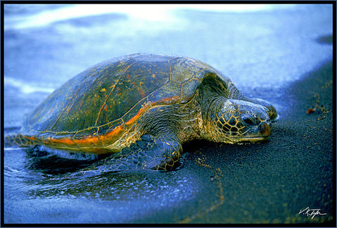Green Sea Turtle Hawaii - Hawaiipictures.com