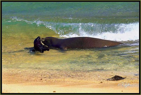 Monk Seal with pup Kauai Hawaii -Hawaiipictures.com