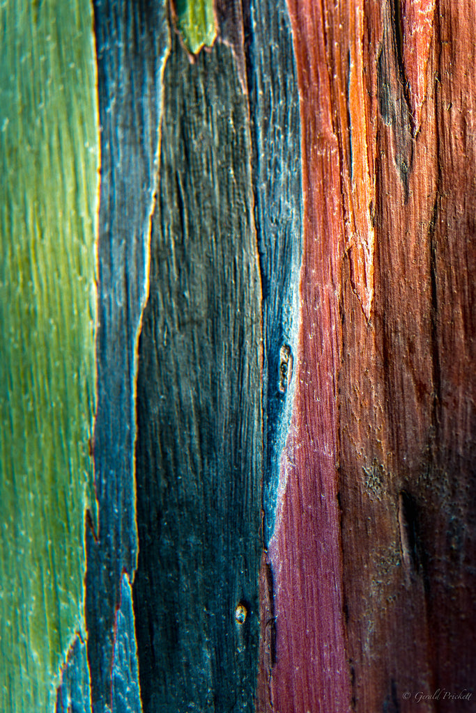 Rainbow Eucalytus Tree Rainbow Gum Kauai Hawaii-Hawaiipictures.com