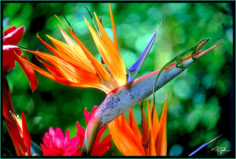 Bird of Paradise Flower with Friend Hawaii Enole-Hawaiipictures.com