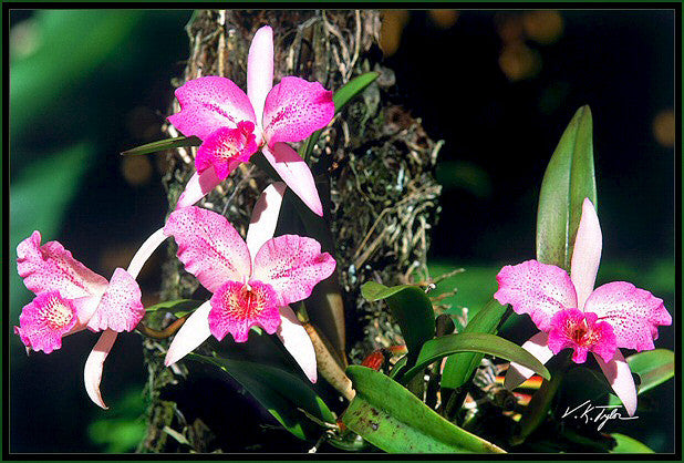 Wild Pink Orchids Hawaii - Hawaiipictures.com