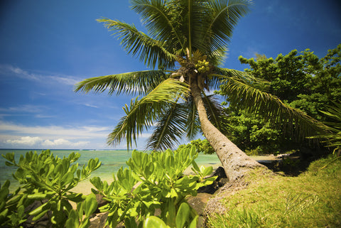 Anini Beach Palm Tree- Hawaiipictures.com