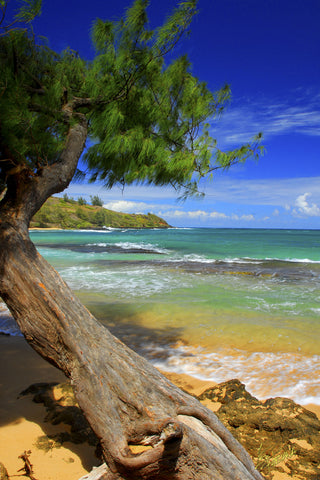 Moloaa Beach with Iron Wood Tree Kauai - Hawaiipictures.com