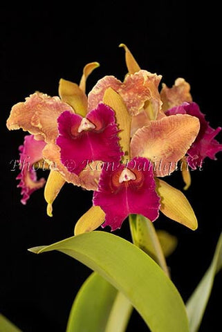 Cattleya orchid, Maui, Hawaii Picture - Hawaiipictures.com