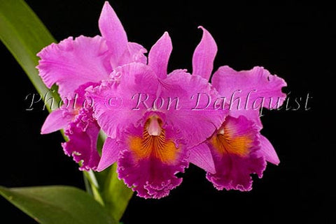 Purple Cattleya Orchid, Maui, Hawaii Picture - Hawaiipictures.com