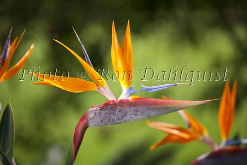 Bird of Paradise flower, Hawaii Picture Photo - Hawaiipictures.com