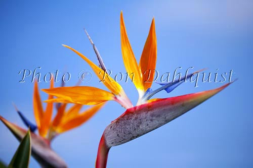 Bird of Paradise flower, Hawaii Photo - Hawaiipictures.com