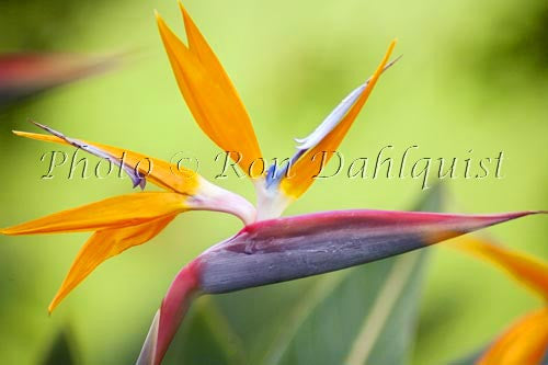 Bird of Paradise flower, Hawaii Picture - Hawaiipictures.com