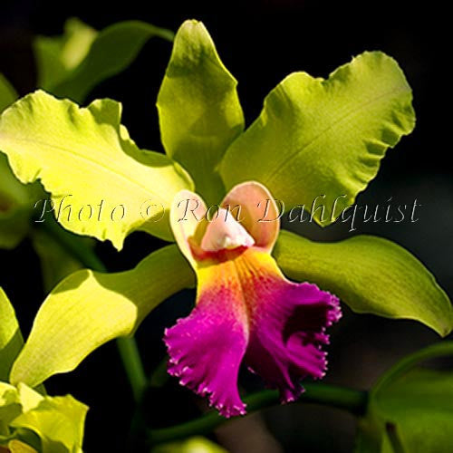 Blc. Autumn Glow 'Green Goddess' orchid, Maui, Hawaii - Hawaiipictures.com