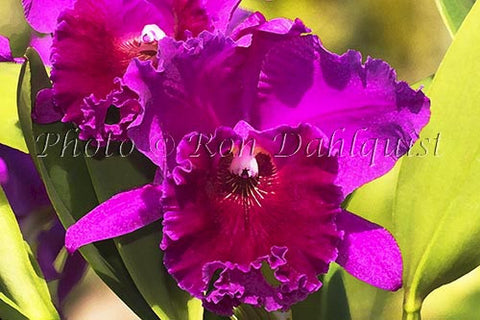 Purple Cattleya orchid Picture - Hawaiipictures.com