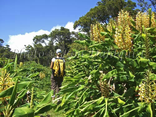 Hiker in Kokee State Park with Kahili Ginger in bloom. Kauai, Hawaii