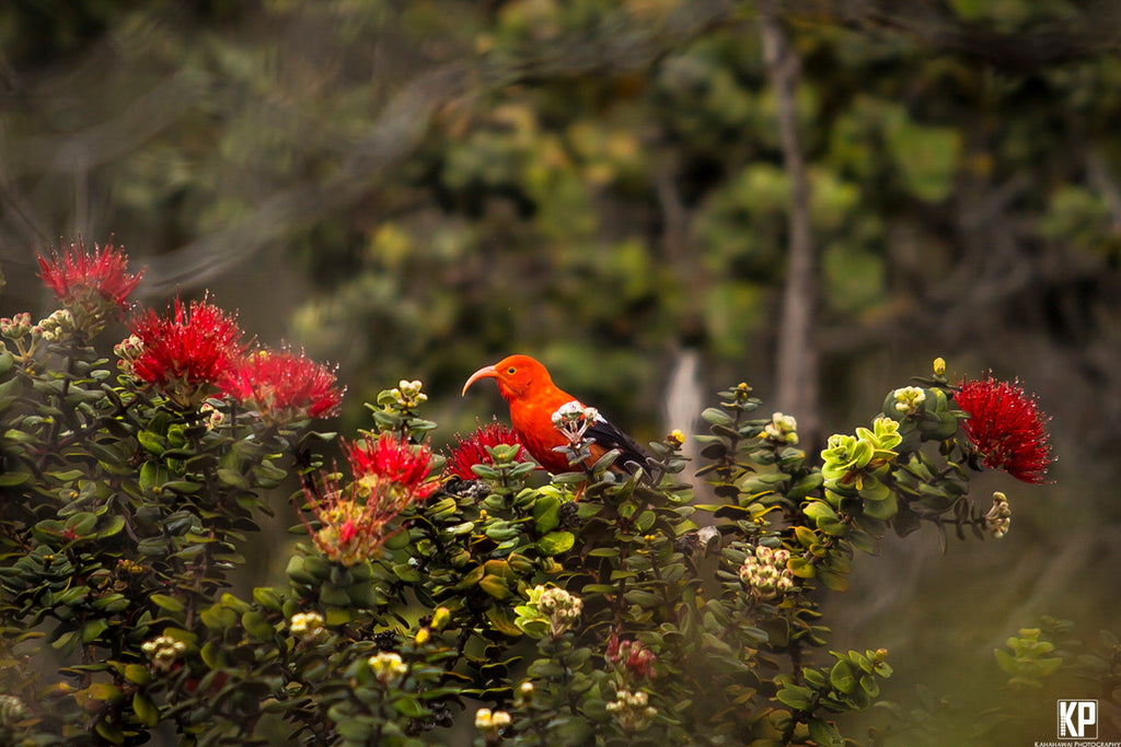 Big Island Iiwi Bird resting on Lehua