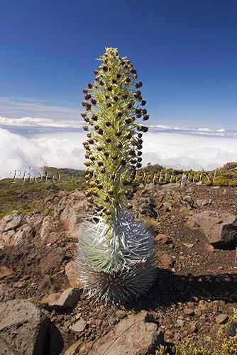 Silversword on the slopes of Haleakala, Maui, Hawaii Photo