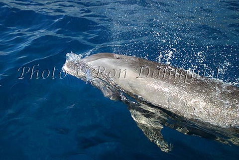 Bottlenose dolphin, Lanai, Hawaii