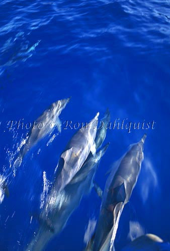Spinner dolphins swimming in the boat wake, Lanai, Hawaii