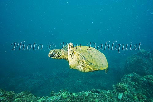 Underwater view of Green Sea Turtle, Maui, Hawaii Picture Stock Photo