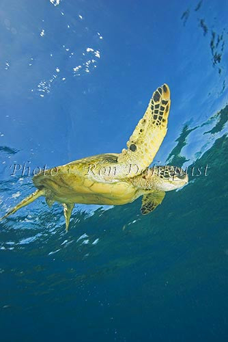 Underwater view of Green Sea Turtle, Maui, Hawaii Photo