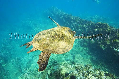 Underwater view of Green Sea Turtle, Maui, Hawaii Picture Photo